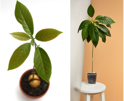 Wyhoduj sobie egzotyka – jak zasadzić awokado